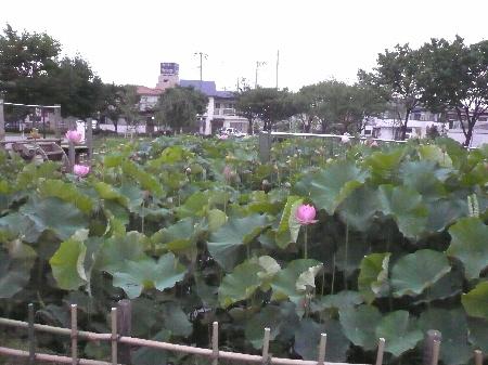 2009-07-12大賀蓮1.jpg