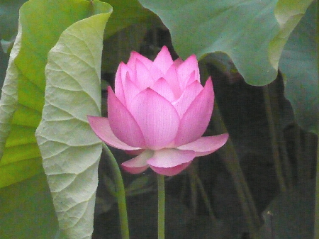 2009-07-12大賀蓮2.jpg